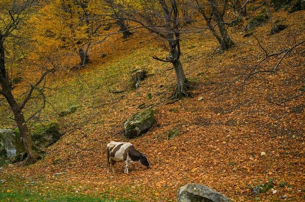 Paysage d'automne vache paître dans la forêt