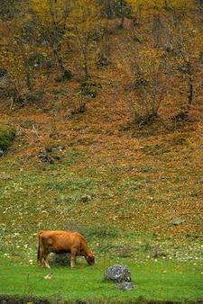 Paysage d'automne vache rouge paître dans la forêt