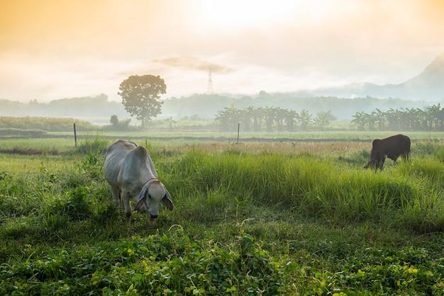 Paysage brumeux sur champ vert le matin, nature brumeuse belle dans la vue brumeuse ensoleillée et vaches en pâturage vache à la campagne