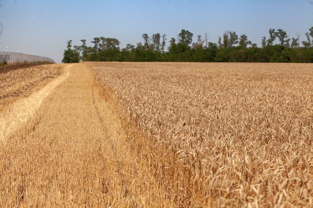 Paysage avec champ de blé