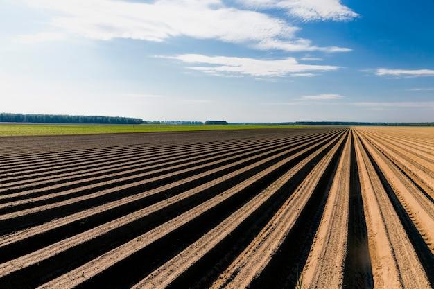 Paysage de champ de carottes