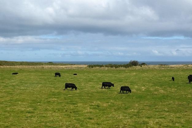 Un paysage d'un champ à côté de la mer avec un troupeau d'une vache des hautes terres