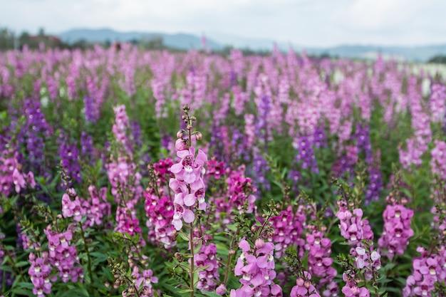 Paysage de champ de fleurs de lavande