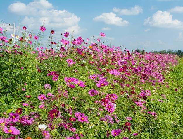 Paysage de champ de fleurs roses cosmos