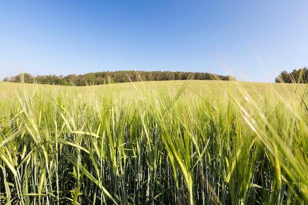 Un paysage de champs agricoles sur lesquels pousse du seigle vert non mûr. dans le ciel bleu et les arbres