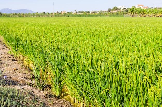 Paysage avec des champs de riz