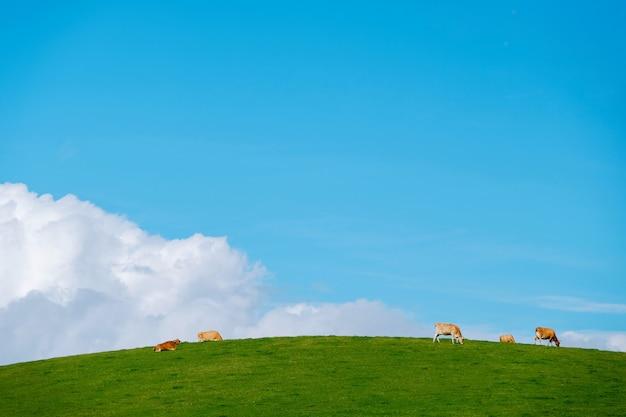 Paysage de collines de la campagne avec champ d'herbe et vaches dans une ferme laitière sur une journée ensoleillée