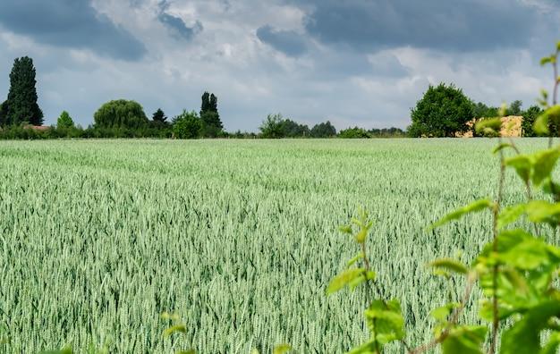 Paysage avec du blé vert immature et des nuages orageux sombres