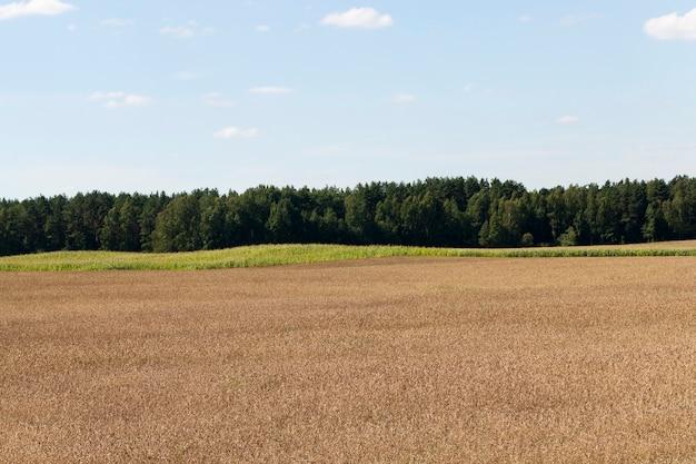 Paysage du champ agricole sur lequel pousse du maïs vert et d'autres plantes