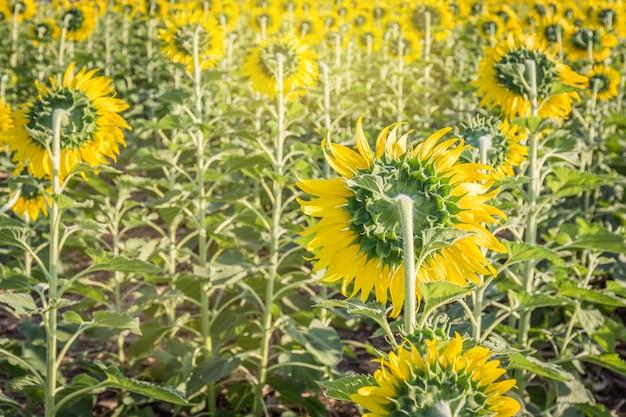 Paysage d'été: beauté des tournesols dans le champ