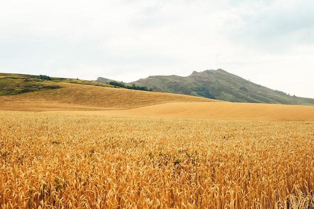 Paysage d'été avec champ de blé et nuages
