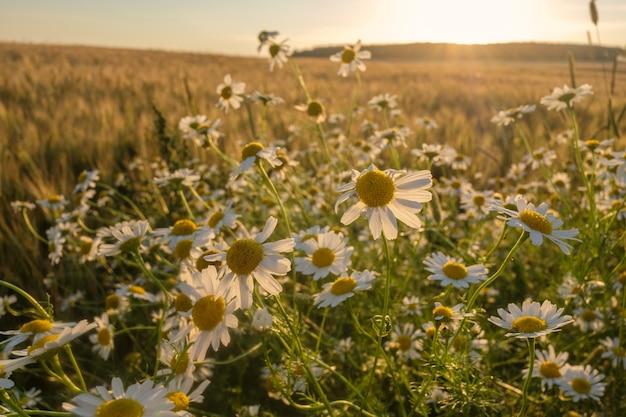 Paysage d'été avec des marguerites et du blé au coucher du soleil