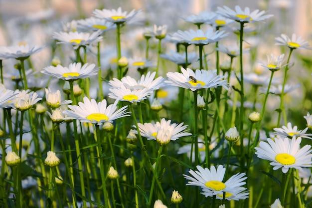 Paysage d'été avec prairie de fleurs de camomille.