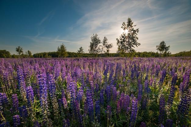 Paysage d'été avec pré de fleurs de lupin, journée ensoleillée, ciel bleu avec des nuages