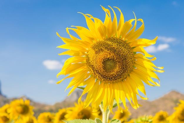 Paysage d'été: tournesols de beauté dans le champ avec fond de ciel bleu