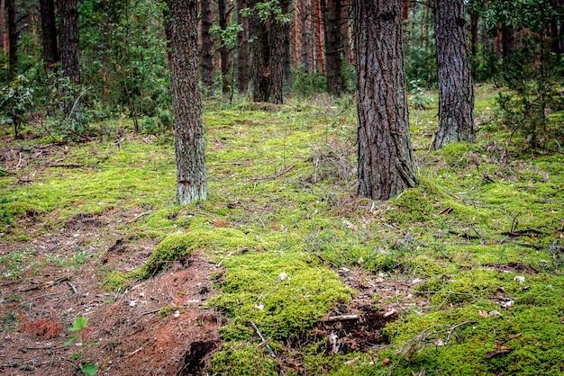 Paysage forestier biélorusse au début de l'automne.