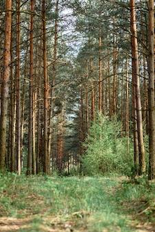 Paysage forestier biélorusse au printemps. la république de biélorussie.