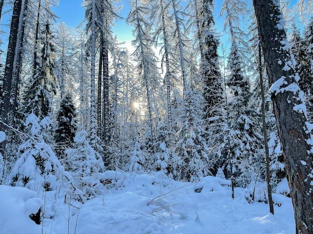 Paysage forestier ensoleillé d'hiver.