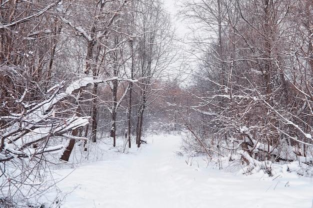Paysage forestier d'hiver. de grands arbres sous la neige. jour glacial de janvier dans le parc.