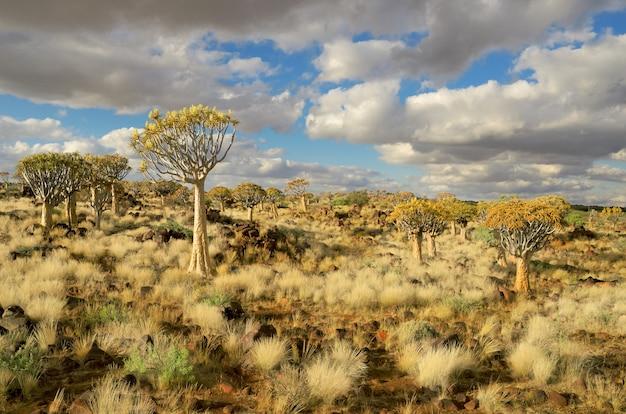 Paysage de forêt d'arbre carquois. kokerbooms en namibie, en afrique. nature africaine