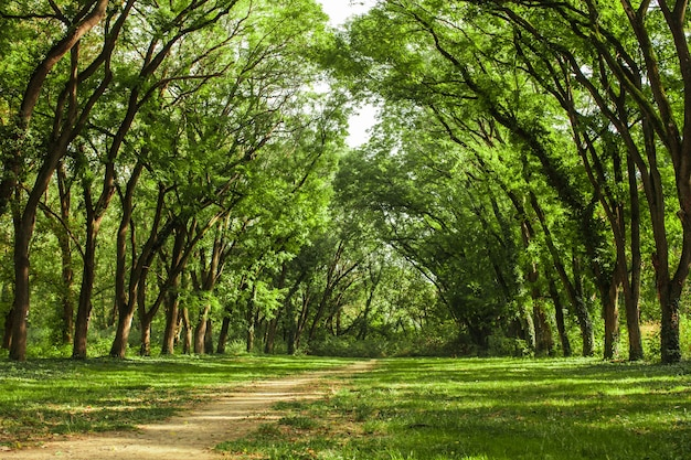 Paysage de forêt de conte de fées - de vieux acacias s'étendent jusqu'au soleil, ils forment une arche