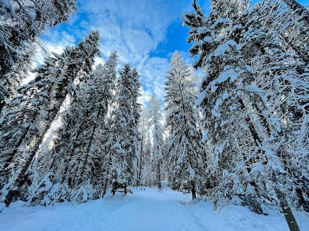 Paysage de forêt ensoleillée d'hiver de pins.