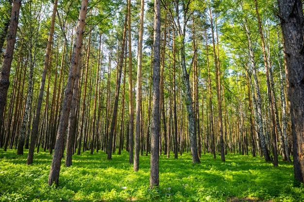 Paysage de forêt d'épicéas d'été en sibérie en russie