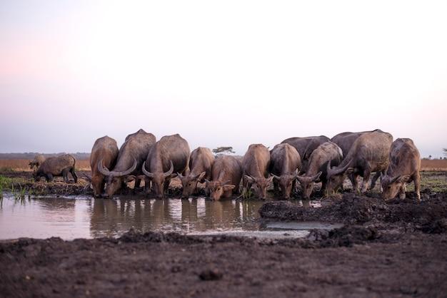 Paysage d'un groupe de taureaux buvant de l'eau