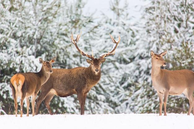Paysage d'hiver avec des cerfs nobles