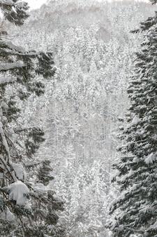 Paysage d'hiver de la forêt de pins