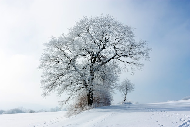 Paysage d'hiver avec un grand arbre givré solitaire sur une journée givrée nuageuse. la grande couronne de l'arbre est recouverte de givre. le concept de confrontation. fermer