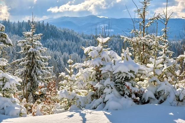 Paysage d'hiver incroyable avec des pins de forêt couverte de neige dans les montagnes froides au lever du soleil.