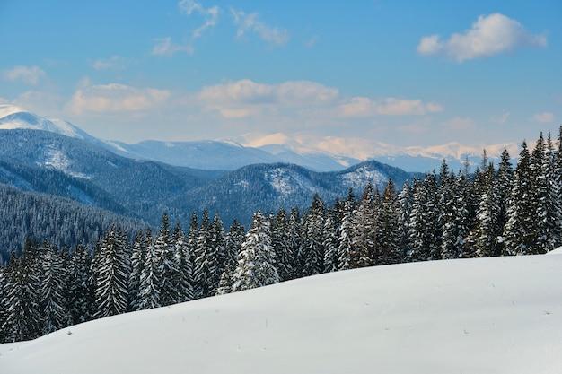 Paysage d'hiver lumineux avec des branches de pin recouvertes de neige fraîche tombée dans la forêt de montagne par une froide journée d'hiver.
