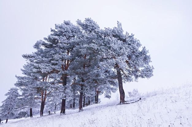Paysage d'hiver, pins couverts de givre. fond de noël