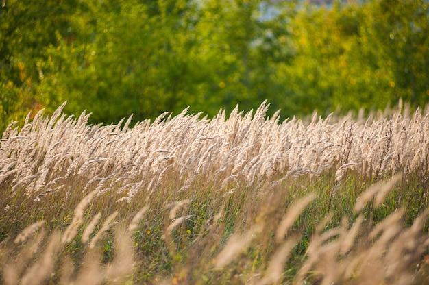Paysage magnifique coucher de soleil de l'agriculture. épis de blé doré se bouchent. scène rurale sous le soleil. fond d'été de maturation des oreilles du paysage. croissance nature récolte. produit naturel du champ de blé.