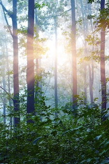 Paysage: matin dans les bois. les rayons du soleil pénètrent à travers les troncs d'arbres