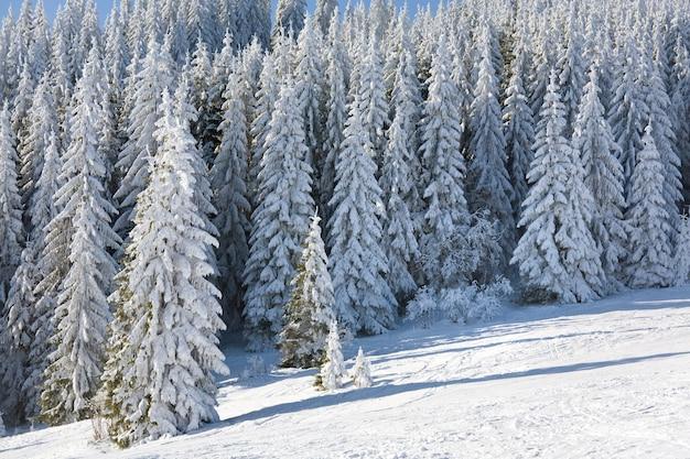Paysage de montagne calme d'hiver avec des épinettes couvertes de givre et de neige