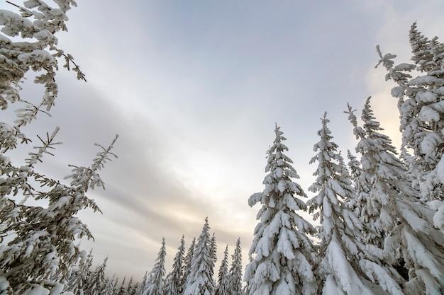 Paysage de montagne d'hiver magnifique. grands épinettes couvertes de neige dans la forêt d'hiver et ciel nuageux.