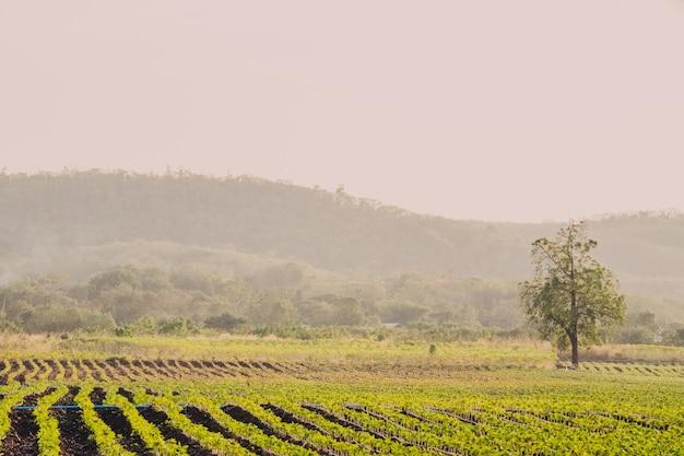 Paysage naturel de la ferme agricole. des rangées de jeunes plants poussant sur un vaste champ.