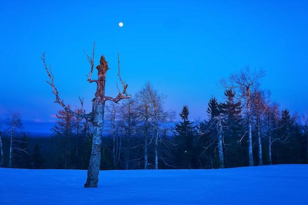 Paysage nocturne d'hiver du nord - les arbres sans feuilles sous la lune sont à peine illuminés par les rayons du soleil levant
