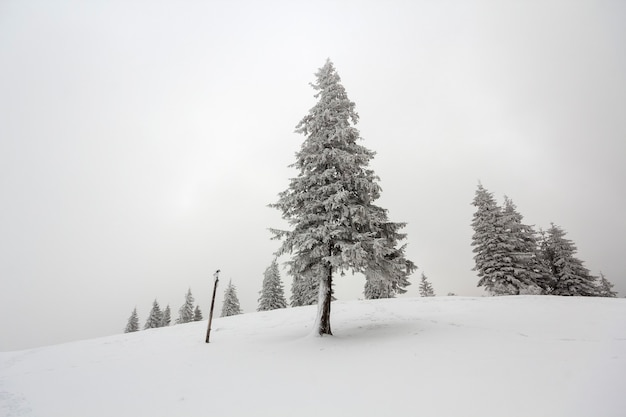 Paysage de noël de nouvel an de montagne d'hiver noir et blanc. isolé seul grand sapin couvert de givre dans la neige claire et profonde sur fond d'espace copie de ciel blanc et forêt noire à l'horizon.