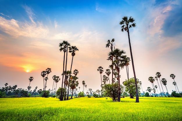 Paysage de palmier à sucre et rizière au coucher du soleil.