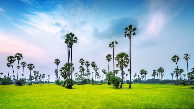 Paysage de palmier à sucre et rizière.
