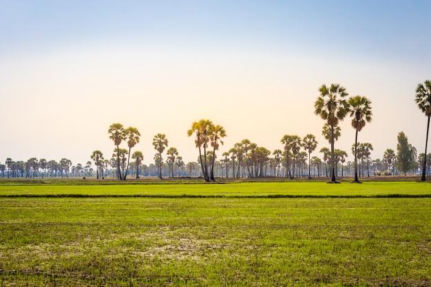 Paysage de palmier toddy ou de sucre avec du riz au jasmin paddy à phetchaburi en thaïlande