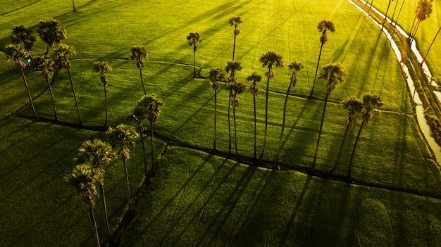 Paysage de palmiers à sucre et rizière