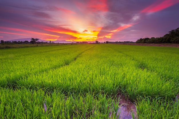 Paysage panoramique de rizière et magnifique ciel coucher de soleil