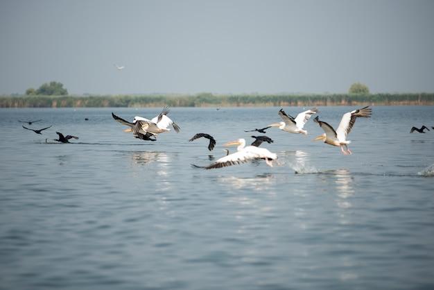 Paysage avec des pélicans blancs dans le delta du danube, en roumanie, dans une journée d'été ensoleillée
