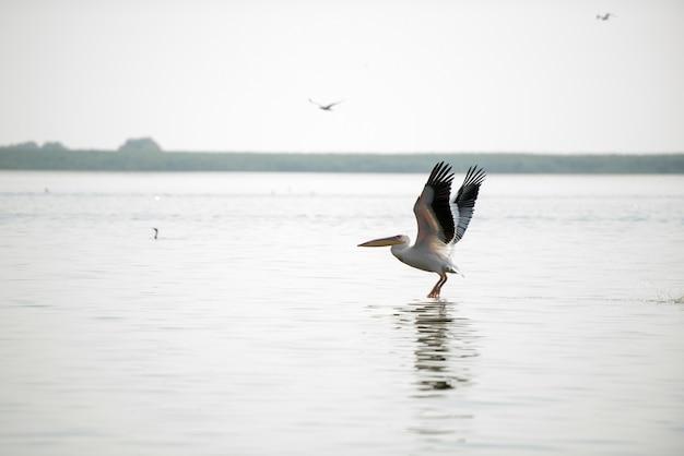 Paysage Avec Des Pélicans Blancs Dans Le Delta Du Danube, En Roumanie, Dans Une Journée D'été Ensoleillée Photo Premium