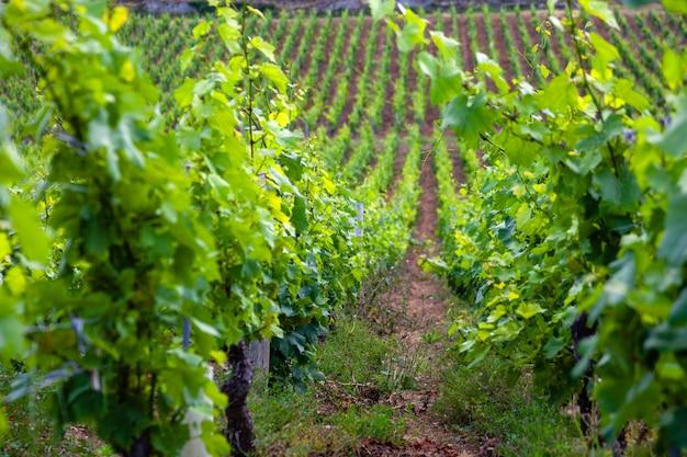 Paysage pittoresque de vignoble