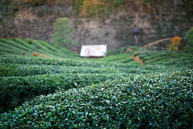 Paysage de plantation de thé vert
